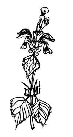 nettle: hand drawn sketch of a plant blooming nettle vector illustration