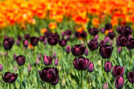 dark purple: background field flower bed of blooming dark purple and bright orange tulips on the flower festival in Istanbul
