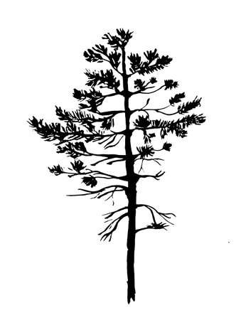 evergreen tree: young pine tree with needles sketch graphics vector illustration