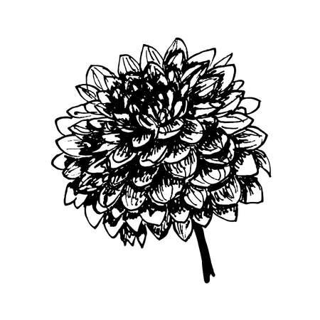 aster: Round lush autumn flower dahlia ink hand drawn graphics vector illustration Illustration