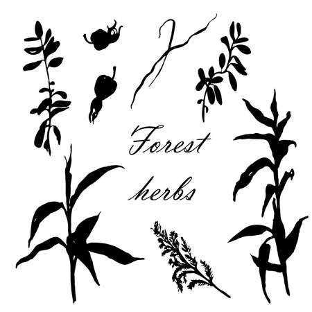 bulrush: forest herbs set of hand-drawn vector illustration isolated