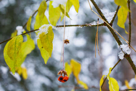 transitional: Blurred background nature bright autumn berries and leaves against the first snow