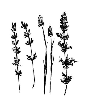tarragon: drawing forest and meadow grasses, set collection isolated graphic illustration