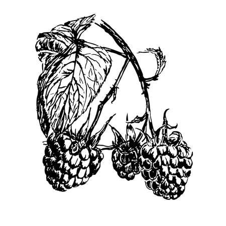 ripe: drawing branch of ripe raspberries illustration Illustration