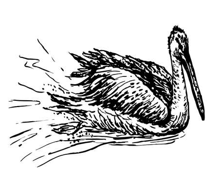 pond life: drawing white pelican sketch ink vector illustration