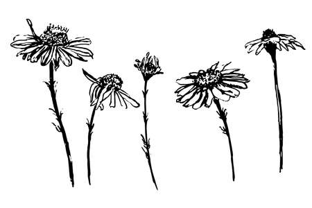 drawing collection of daisy flowers set sketch vector illustration Illustration