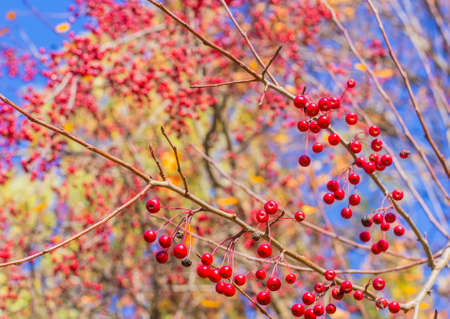 Background branch of a tree with red berries Stock Photo