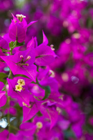 southern: blurred background pink purple wall of flowering plant