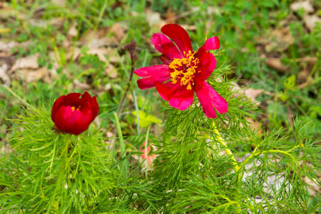image background bright red wild peony flowers in the desert on the plateau of Crimean mountains Stock Photo