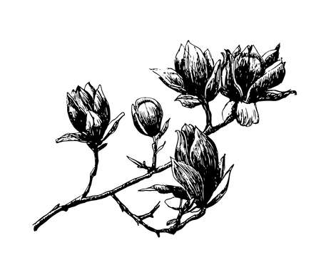 Drawing blooming magnolia branch spring, sketch, hand-drawn vector illustration Vectores