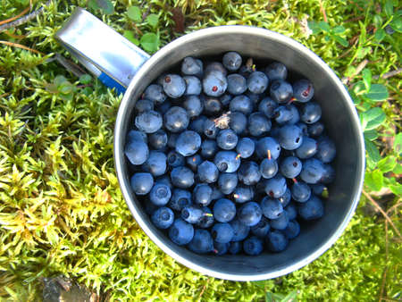 Background landscape aluminum mug full of ripe blueberries on a litter of moss in the fresh air Foto de archivo