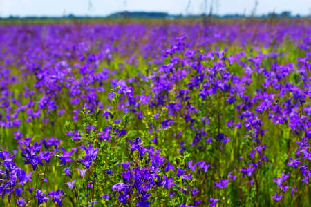 Background blurred landscape view of a field of bluebell flowers in June in summer