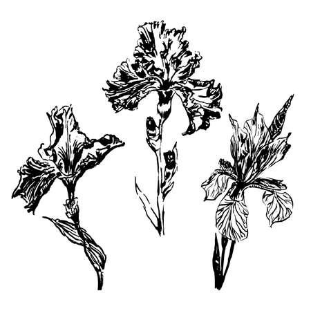 Drawing set of isolates three iris, sketch, hand-drawn graphics ink vector illustration