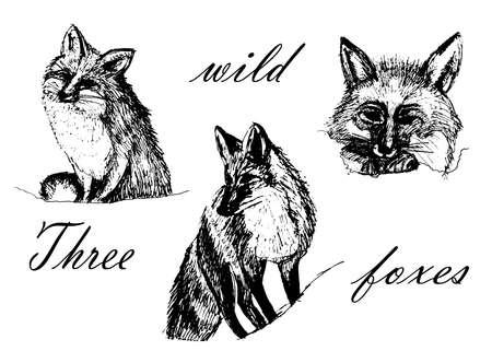 一連の隔離されたイメージを描画する 3 つのキツネ、スケッチ インク グラフィックス ベクターの手描きイラスト