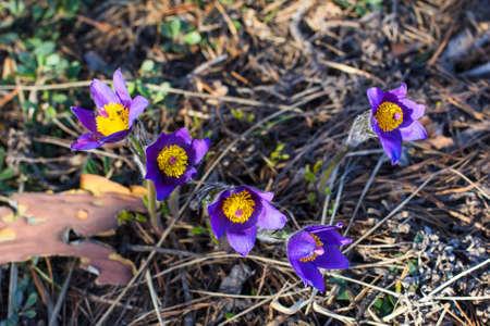 紫スノー ドロップ桜草睡眠草フォレスト内の背景壁紙写真グループ