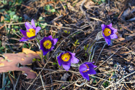 background wallpaper pictures group of purple snowdrop primroses sleep-grass in the forest