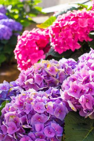 Background pink beautiful and purple hydrangea flowers in a pot on a city street in Riga Foto de archivo