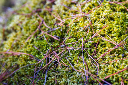 Background of a blurry forest autumn moss with yellow pine needles