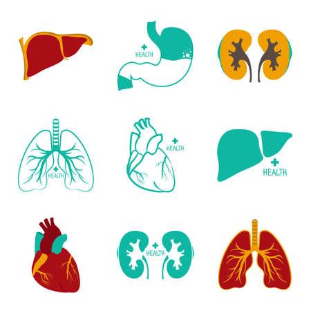 myocardium: Internal organs of the human Illustration