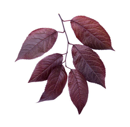 Organic, fresh and dark red autumn leaves, isolated on a white background. Beautiful branch with dark leaves of a plum tree. Red leaves. Burgundy plum leaves.