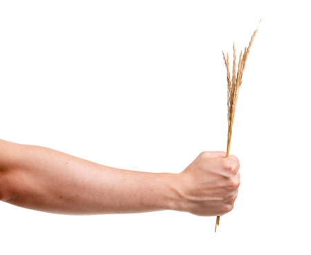 A mans hand holds wheat on a white isolated background. Close-up.