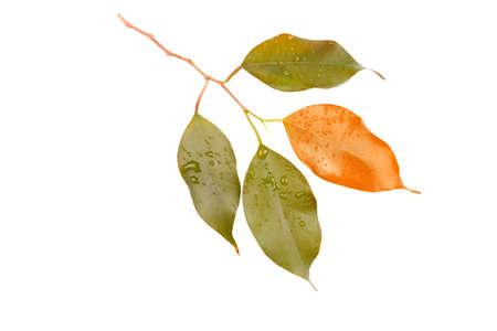 Groen blad van citrusboom die op witte achtergrond wordt geïsoleerd.