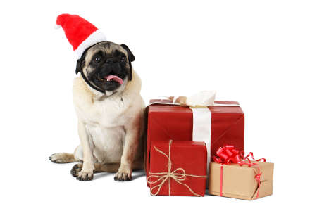A funny dog of the pug breed, dressed in Santa hat sits on side near the gift boxes. Isolated on white background.