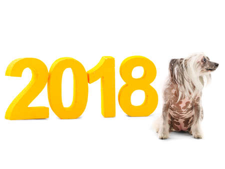 New Years inscription 2018 near which sits a dog of the breed Chinese Crested and looks away. Isolated. Indoors. Stock Photo