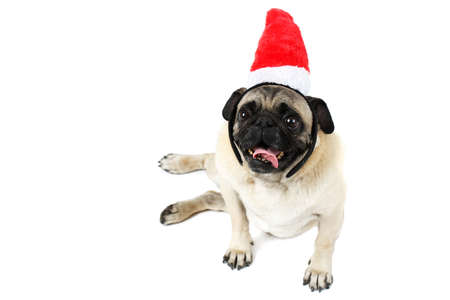 A pug, lying on side with Santas hat and sticking out his tongue. Isolated on white background.