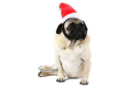 A funny dog with a flat face, dressed in Santa hat sits on side. Isolated on white background.