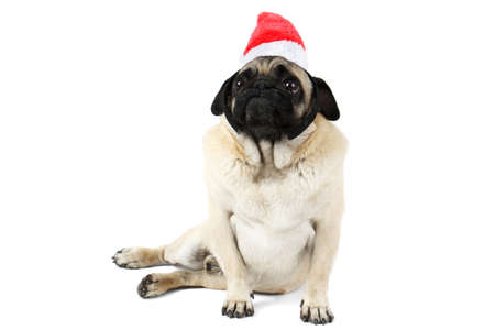 A funny dog with a flat face, in Santa hat sits on side and looks up. Isolated on white background.