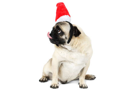 A pug dog in santa hat sits and looks up, the head is turned to the side. Isolated.