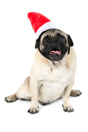 A funny pug in a hat elf is sitting on a white background. Isolation.