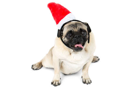 The pug lies in the Christmas hat of the elf. Isolated on white background. Stock Photo