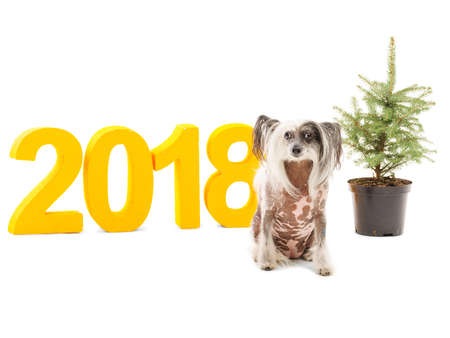 Chinese Crested dog, inscription 2018 and a small herringbone. Theme of the New Year. Isolated. Indoors.