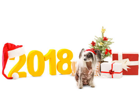 A Chinese Crested in a santa hat is near the New Years scenery. Isolated . Stock Photo