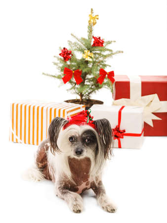 A funny Chinese Crested in a santa hat lies on the background of New Years scenery. Isolated. Indoors. Stock Photo
