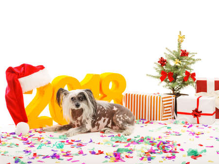 A dog Chinese Crested lies near New Years scenery. On the floor scattered multicolored confetti. Isolated . Stock Photo