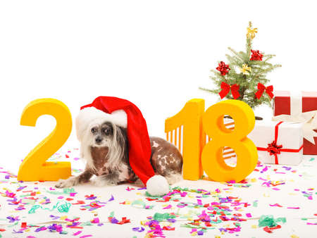 Dog symbol of the New Year 2018. Dog Chinese Crested lies near the decoration and depicts a figure of zero. Isolated .