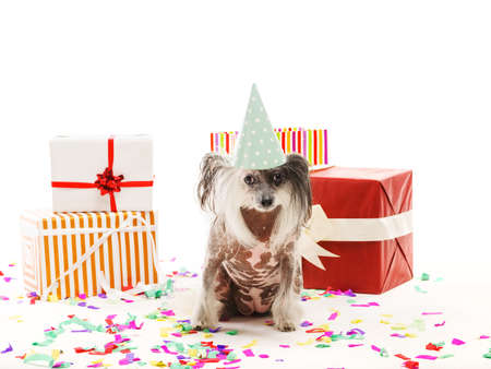 A dog Chinese Crested in a festive cone cap sits among gift boxes. Isolated on white background. Indoors.