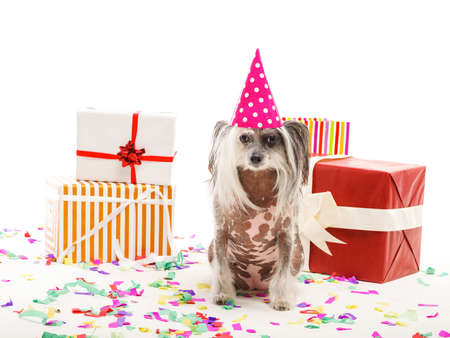 A funny Chinese Crested in a cone cap of pink color sits among gift boxes on confetti. Isolated on white background.
