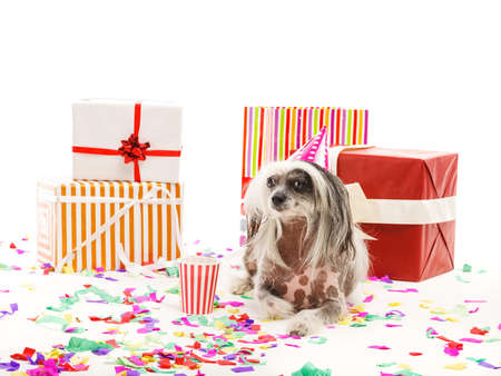 A Chinese Crested dog lies near the festive gift boxes. Isolated on white background. Indoors. Stock Photo