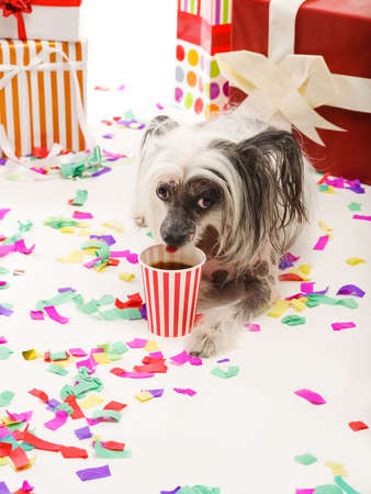 A Chinese Crested dog lies near gift boxes and drinks a cola from a plastic glass. Isolated on white background.