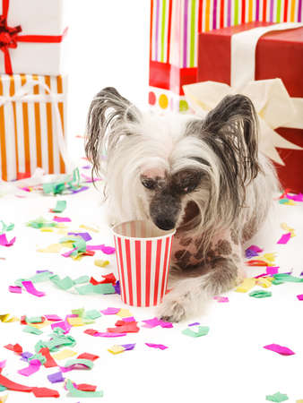 A funny Chinese Crested dog lies near gift and drinks something from a paper cup. Isolated on white background.
