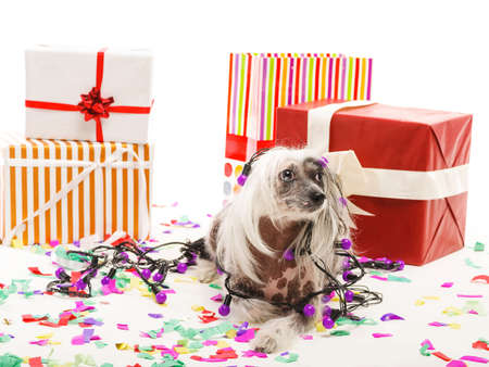 A funny dog is wrapped in a festive garland lying near large gift boxes. Isolated on white background. Indoors. Stock Photo