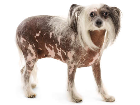 A Chinese Crested breed dog stands. Isolation.