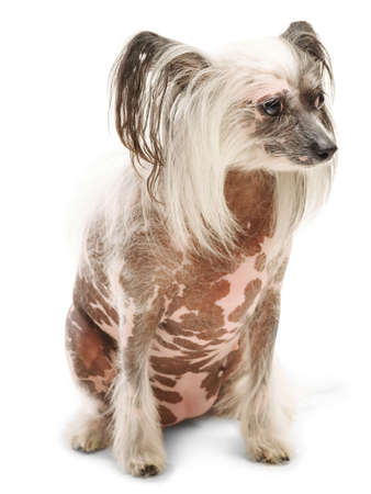 A Chinese Crested sits and looks away. Isolated on white background.