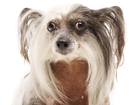 Close-up of muzzle of a Chinese Crested dog. Isolation.