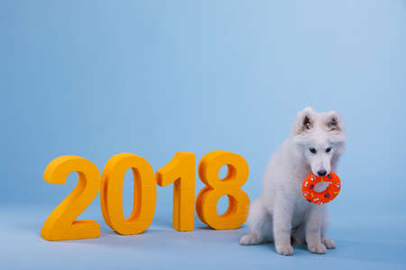 A cute and playful puppy of Samoyed breed, sitting and holding a toy in his teeth. On a blue background with orange number 2018. Stock Photo