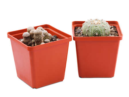 Two cactus of different species small in brown pot closeup on white isolated background